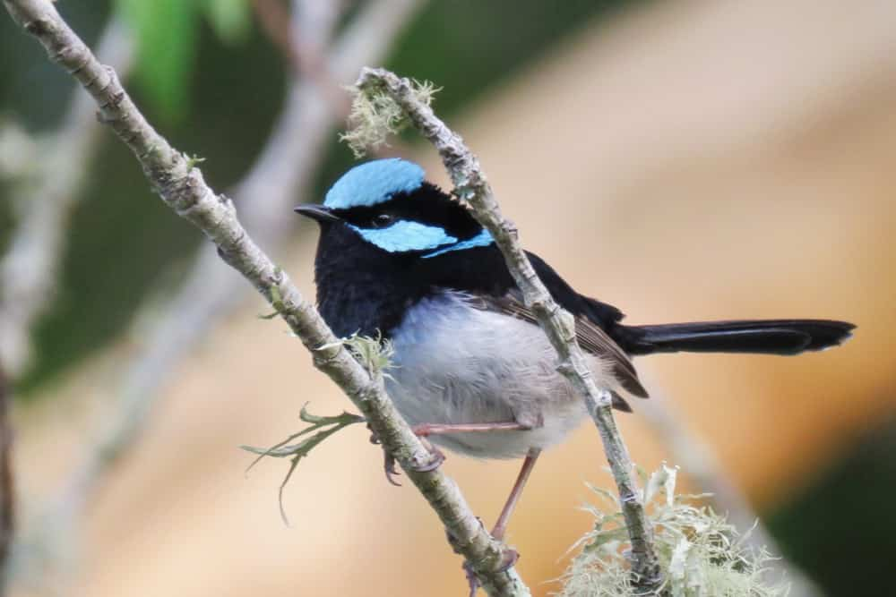 Super Fairy Wren